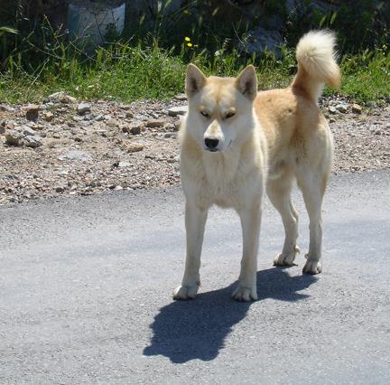 Gumusluk Bodrum Peninsula Street Dog, Turkey