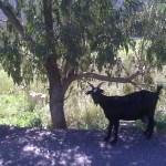 Goat under a tree in Tilos Greek Island