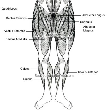 Leg Muscle Anatomy - Quadriceps Muscle, Hamstring Muscle, and
