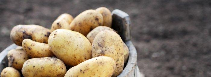 parel aardappelen