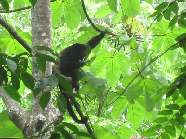 Tree toads sounds the sounds of tree frogs and howler monkeys in costa