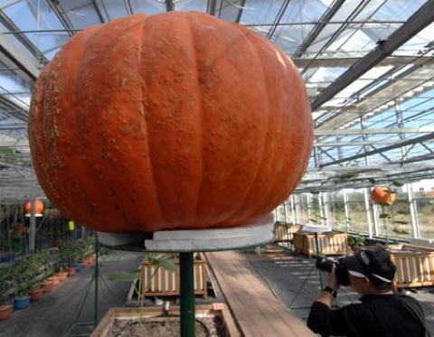 Wp-Content Uploads 2008 11 Giantpumpkin