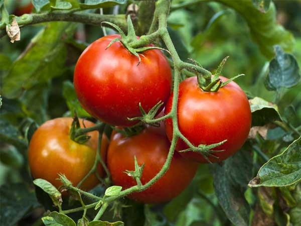 8 Steps To Grow Tomato Plant From Seeds - Boldsky.Com