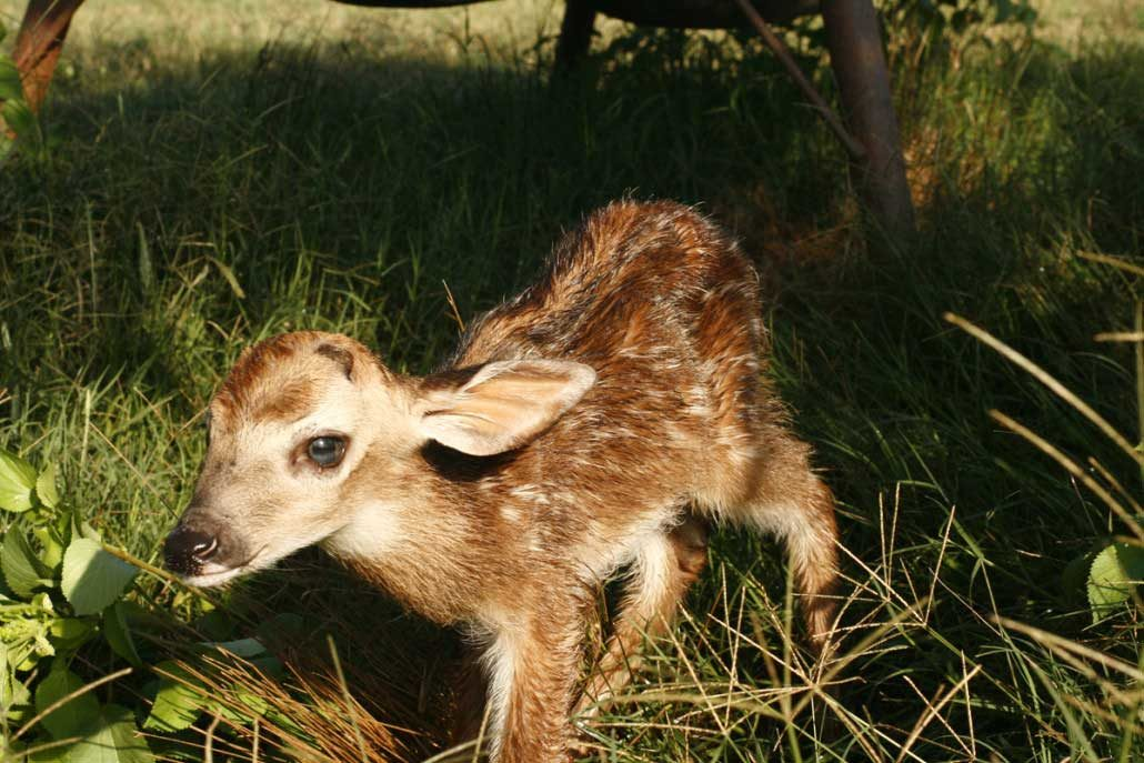 White-tailed Deer Fawns Spring Season Is Fawning Season Bone