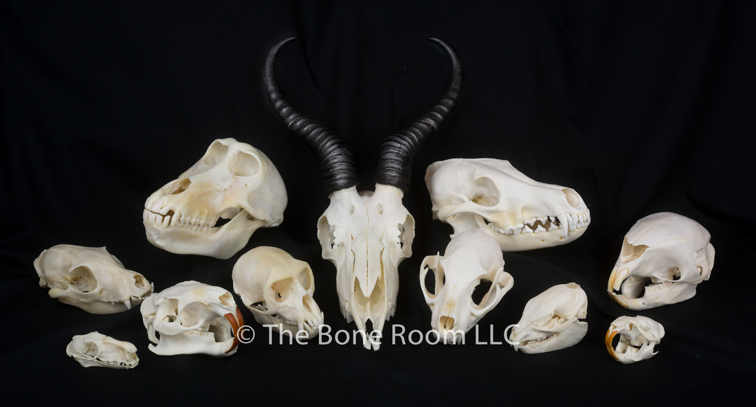 Real Animal Skulls for Sale - The Bone Room