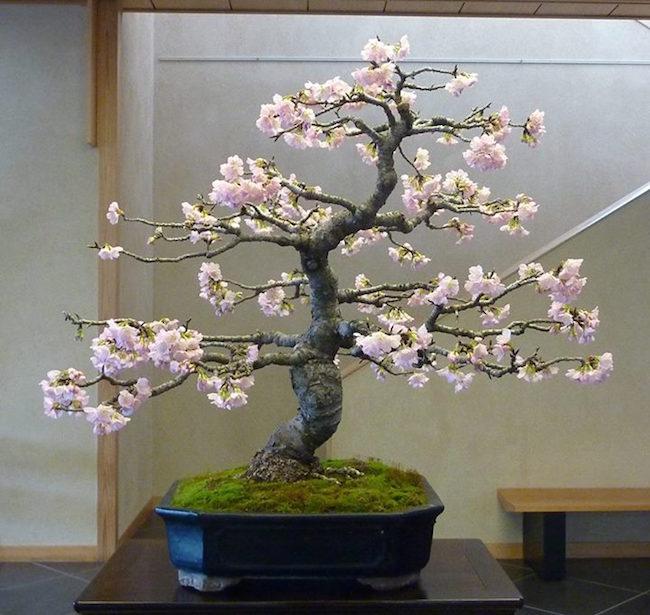 Pink Cherry Blossom Wallpaper Hd Cherry Blossom Bonsai Bonsai Empire