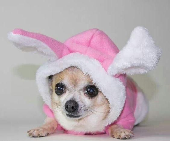 Chihuahua bunny
