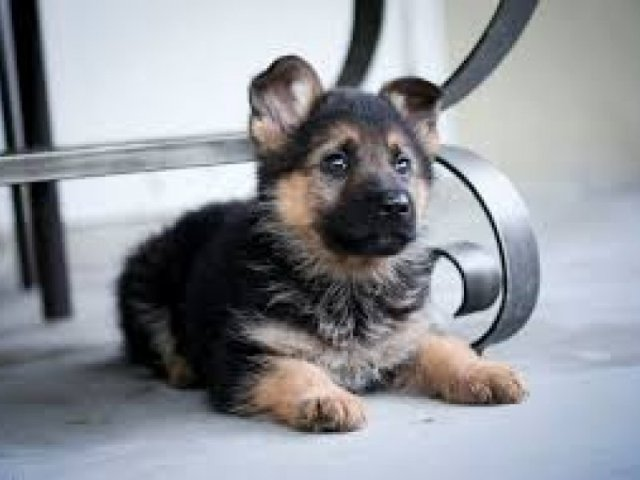 German Shepherd Puppy Available Now | For Sale NSW: Sydney