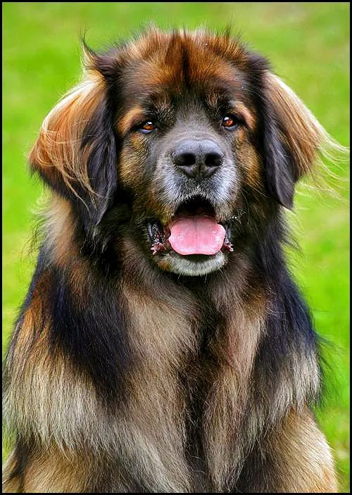 Unexpected Leonberger Diversity