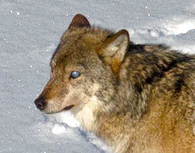 Wolves with milky eyes are being spotted on the island, probably due to inbred disease.