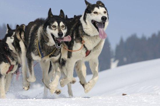 whistler_sled_dogs