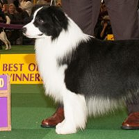 Inbred Border Collies at Westminster