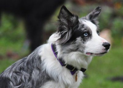 Image For Types Of Border Collies