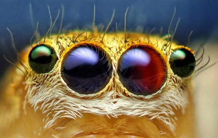 atlama-örümcekler-makro-fotoğraf-thomas-shahan-1