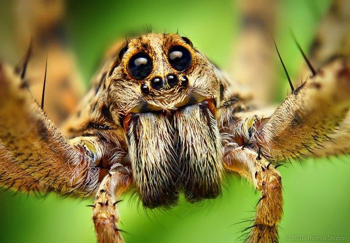 atlama-örümcekler-makro-fotoğraf-thomas-shahan-18