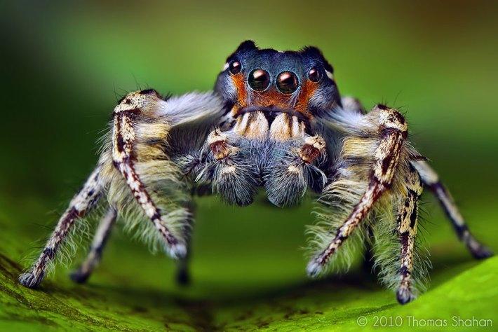 atlama-örümcekler-makro-fotoğraf-thomas-shahan-20