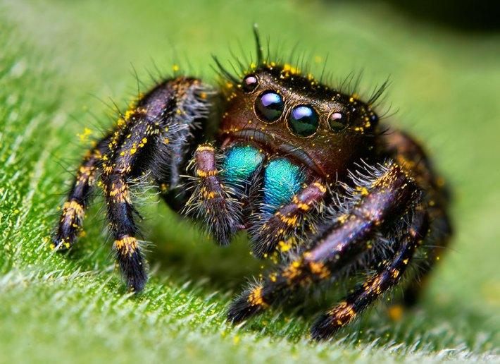 atlama-örümcekler-makro-fotoğraf-thomas-shahan-4