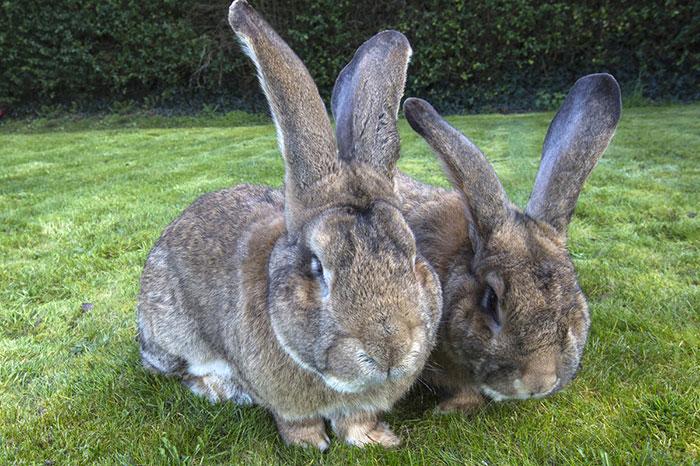 conejo-mas-grande-del-mundo (3)