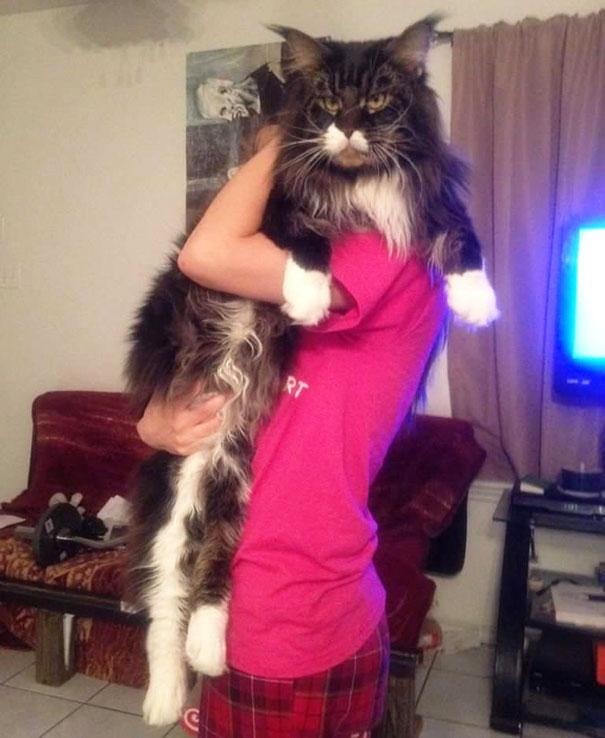 gatos-enormes (10)
