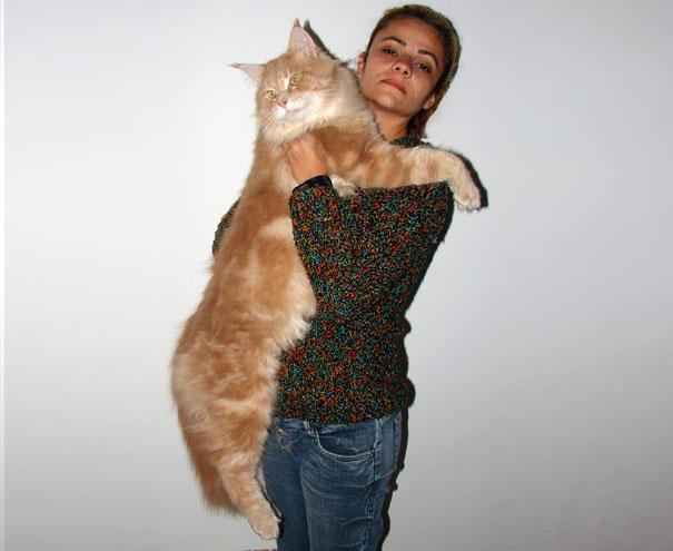 gatos-enormes (13)