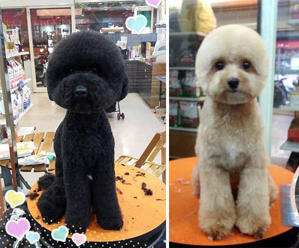 perros-corte-pelo-redondo-cuadrado-taiwan (3)