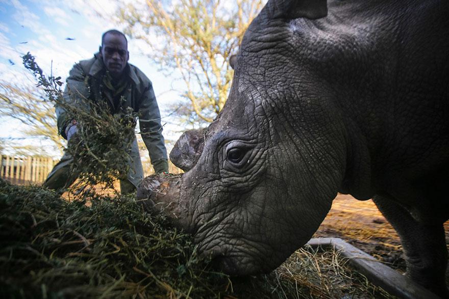 ultimo-rinoceronte-blanco-norte-protegido-kenia (10)