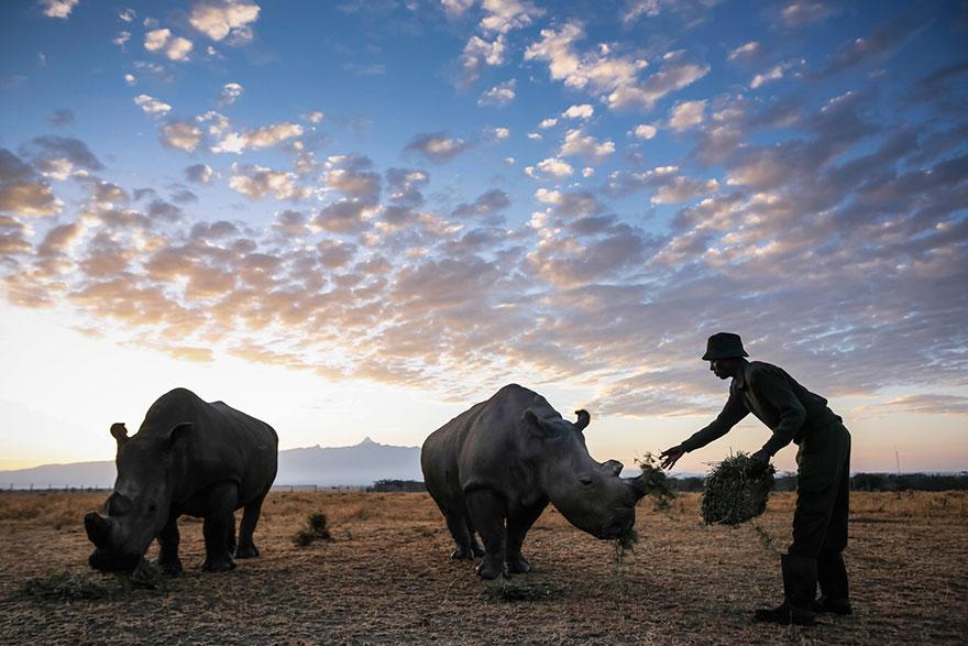 ultimo-rinoceronte-blanco-norte-protegido-kenia (5)