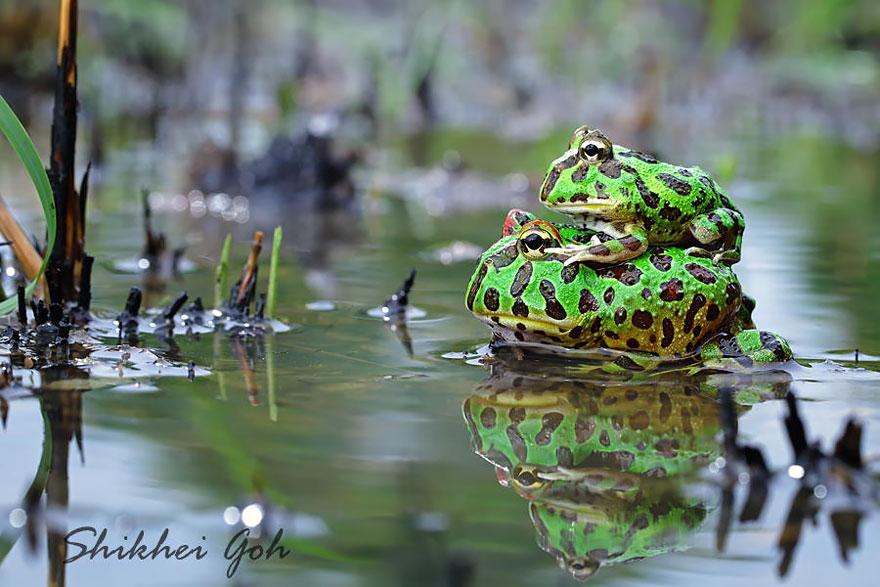 fotos-curiosas-ranas-anfibios (5)