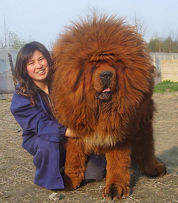fotos-divertidas-perros-gigantes (3)
