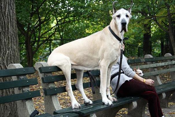 fotos-divertidas-perros-gigantes (40)