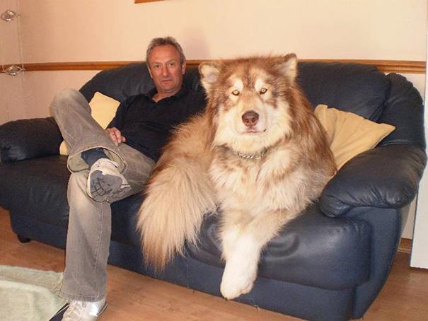 fotos-divertidas-perros-gigantes (56)