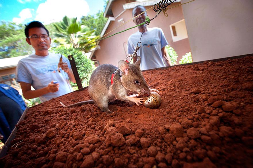 ratas-heroicas-detectoras-minas-apopo-africa (12)