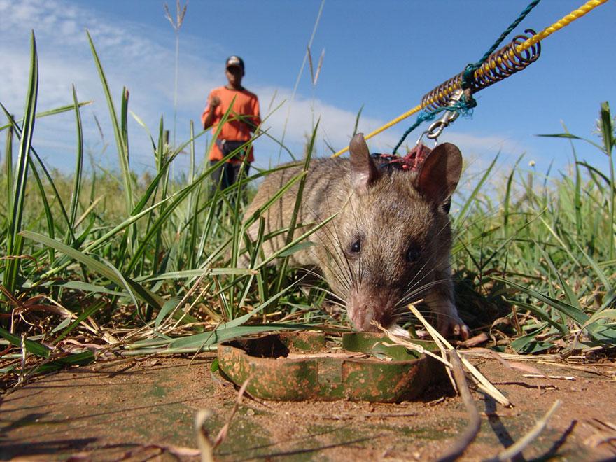 ratas-heroicas-detectoras-minas-apopo-africa (16)