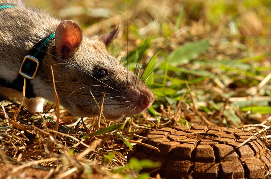 ratas-heroicas-detectoras-minas-apopo-africa (19)