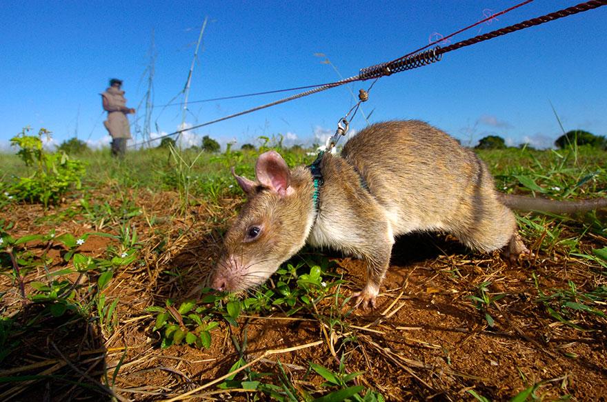 ratas-heroicas-detectoras-minas-apopo-africa (20)