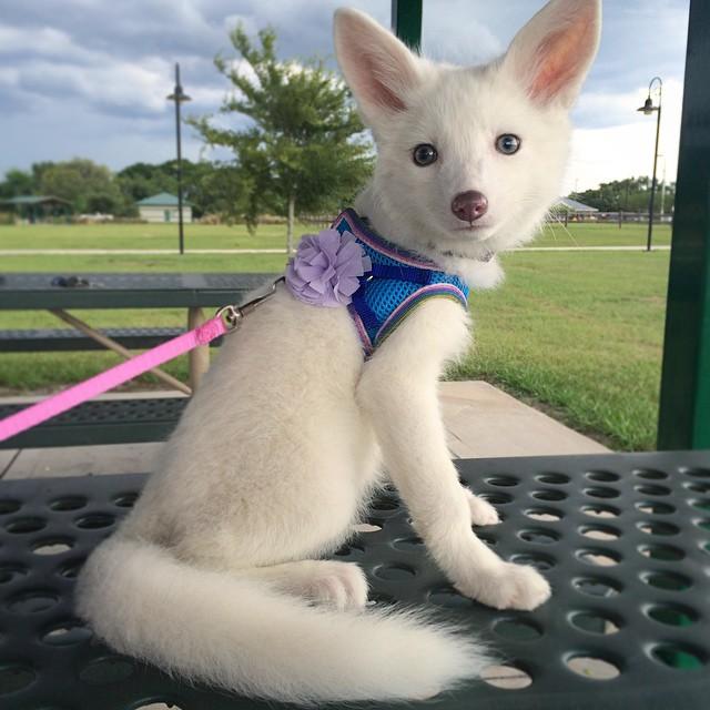 cachorro-zorro-blanco-rylai (3)