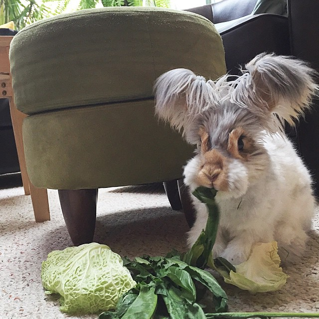 corte-pelo-orejas-conejo-angora-wally (9)