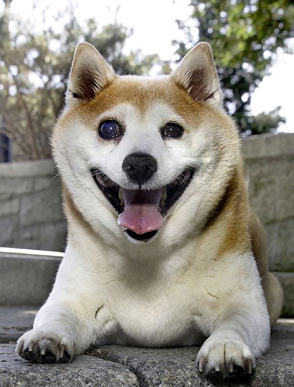 perro-shiba-enfermo-sonrisa-cinnamon (3)