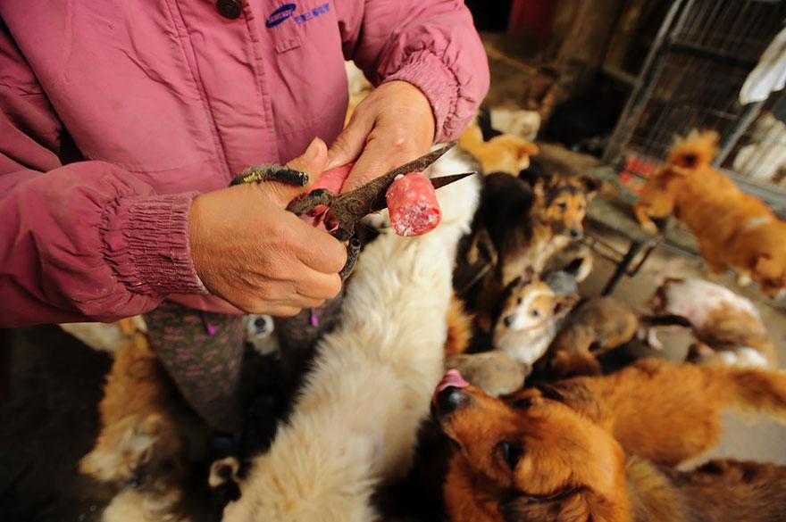 perros-rescatados-festival-yulin-china (12)