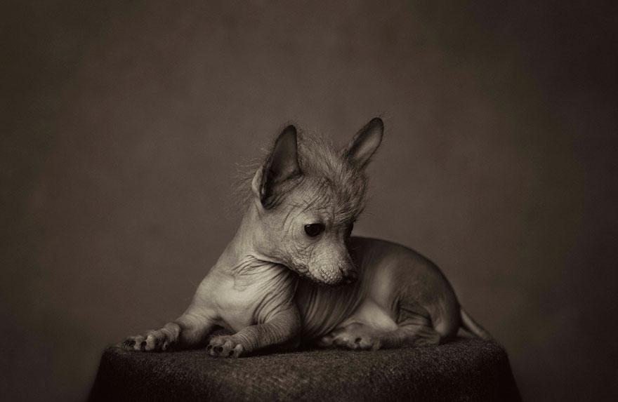 retratos-animales-emociones-humanas-vincent-lagrange (3)