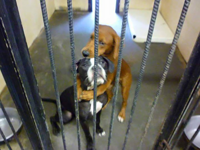 abrazo-perros-refugio-salvar-vida-kala-keira-angels-among-us (3)