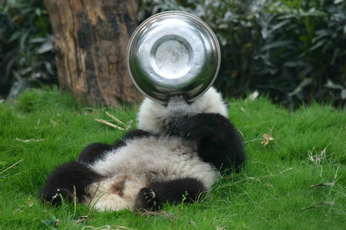 base-investigacion-chengdu-guarderia-osos-panda (17)