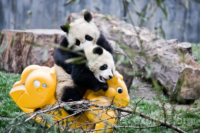 base-investigacion-chengdu-guarderia-osos-panda (3)