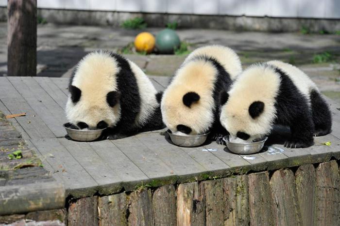 base-investigacion-chengdu-guarderia-osos-panda (5)