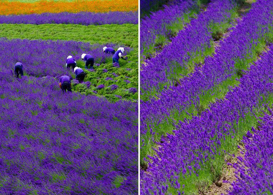cosecha-campos-lavanda (5)
