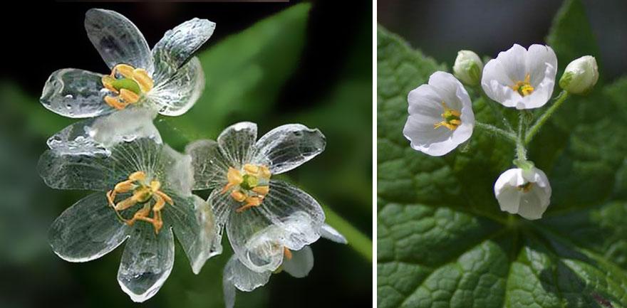 flor-esqueleto-petalos-transparentes-lluvia-diphylleia-grayi (6)