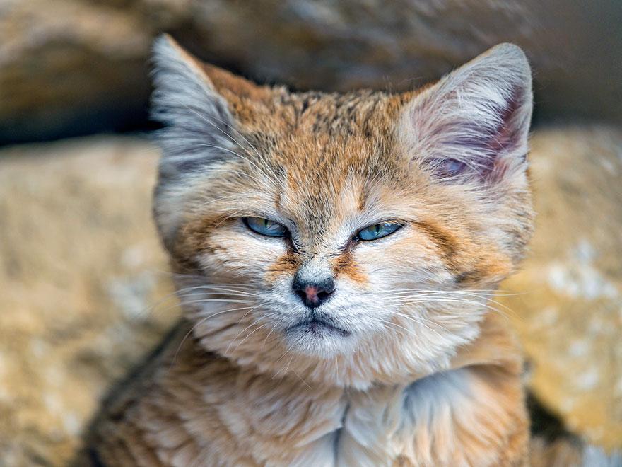 gatos-arenas-desierto-apariencia-gatito (2)