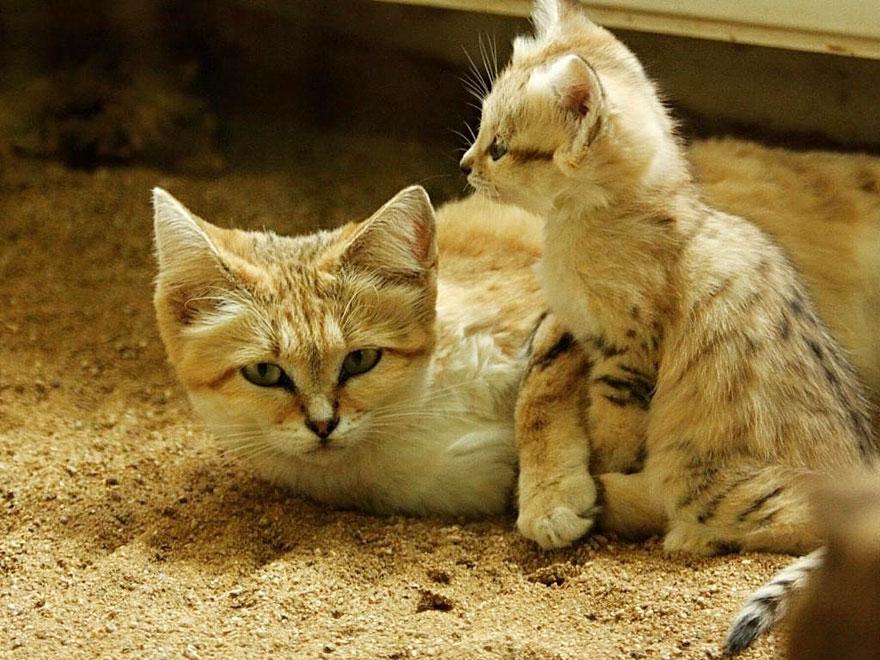 gatos-arenas-desierto-apariencia-gatito (9)