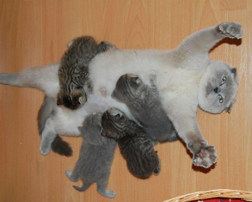 mama-gato-abrumada-amamantando-gatitos