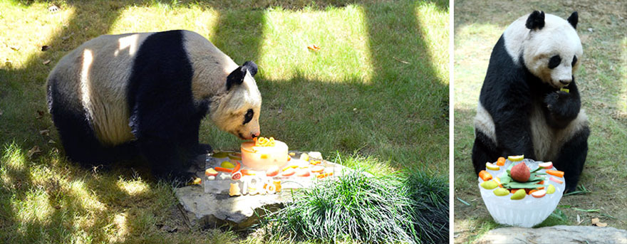 panda-jia-jia-37-anos-record-guinness (4)